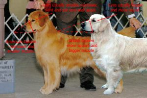 Golden Retriever General Informations - Clear Passion